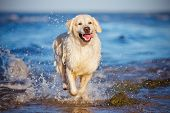stock photo of dog park  - golden retriever dog at the beach in summer - JPG