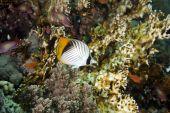 Threadfin Butterflyfish And Ocean