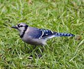 stock photo of blue jay  - Close up of blue jay feeding on rainy morning - JPG