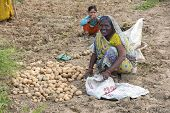 Woman Harvests Potatoes With Bare Hands.