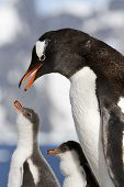 Gentoo Penguin Female Is Going To Feed The Chicks