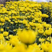 Close Up Yellow Chrysanthemum Flowers In Garden