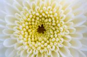 Close Up White Chrysanthemum Morifolium Flower