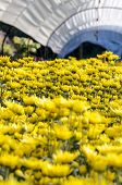 Yellow Chrysanthemum Flowers Farms