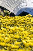 Yellow Chrysanthemum Flowers Farms