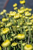 Buds Of Yellow Chrysanthemum Morifolium Flowers In The Garden