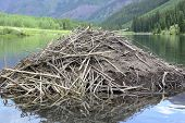 stock photo of beaver  - Beaver dam made of sticks and branches in pond - JPG