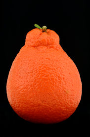 stock photo of tangelo  - Studio shot of a tangelo or minneola citrus - JPG