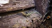Little lizard hides.