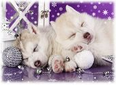 picture of christmas puppy  -  Siberian Husky christmas puppy - JPG