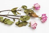three dry pink roses on a white background