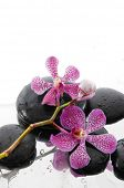 beautiful branch pink orchid with wet stones