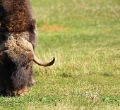 Male Musk Ox Grazing