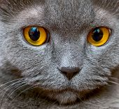stock photo of portrait british shorthair cat  - Portrait of an adult cat British breed with yellow eyes - JPG