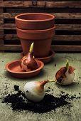 Earthen Pot And Spring Bulbs Plants
