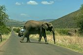 African elephant cut off the road