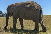 African elephant in Chapel & Lapa reserve