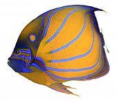 stock photo of amphibious  - Bluering Angelfish isolated on white background - JPG
