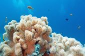 picture of bottom  - coral reef with great sarcophyton coral at the bottom of tropical sea on a background of blue water - JPG