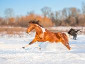 picture of wild horse running  - piebald horse is running in the snow