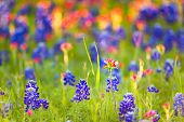 stock photo of bluebonnets  - Bluebonnets and Indian paintbrushes bathed in late afternoon light - JPG