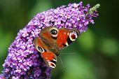 stock photo of butterfly-bush  - European Peacock  - JPG