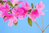 image of azalea  - Branch of vivid pink azalea blossoms on sky blue background - JPG