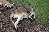 stock photo of kangaroo  - kangaroos laying in the grass resting in spring - JPG