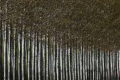 pic of cottonwood  - Poplar alley trees - JPG