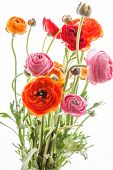 stock photo of buttercup  - Colorful persian buttercup flowers  - JPG