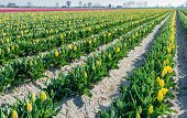 image of yellow buds  - Plant beds with budding and yellow blooming tulips diagonally into the picture - JPG