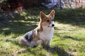 picture of corgi  - a young welsh corgi sitting on lawn - JPG