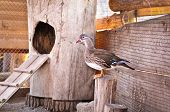 stock photo of poultry  - poultry mandarin duck on the farm land - JPG
