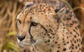 stock photo of cheetah  - photo portrait of a beautiful male cheetah - JPG