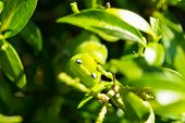 stock photo of green caterpillar  - Green caterpillar pest eating on green leaf - JPG