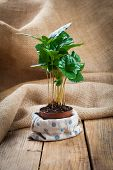 stock photo of coffee coffee plant  - green coffee plant treeon sackcloth wooden background - JPG