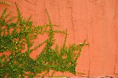 image of ivy vine  - Red wall with vines stretching up front - JPG