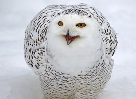 foto of snow owl  - A Snowy Owl (Bubo scandiacus) talking while in the snow.