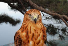 foto of falcons  - Mountain Falcon close - JPG