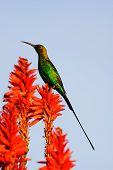 Male Malachite Sunbird (Nectarinia famosa) in eclipse plumage