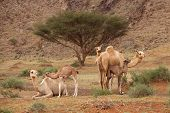 Camels and Calves