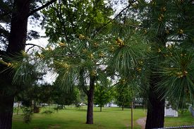 image of pine-needle  - Needles and developing cones on the branches of a white pine tree  - JPG