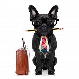 stock photo of bulldog  - office businessman french bulldog dog with pen or pencil in mouth with bag or suitcase isolated on white background - JPG