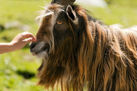 pic of goat horns  - Brown and white billy goat with long fur and horns caressed by a human hand - JPG