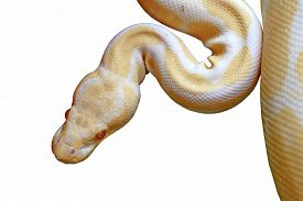 picture of pythons  - albino reticulated python  - JPG