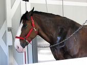 Horse  Clydesdale