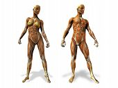 image of male female  - illustration of male and female anatomy comparisons front only - JPG
