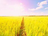Young Green Barley Corns Growing In Field, Light At Horizon.  Sun Above The Horizon poster