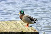 A Mallard Duck Sunning On A Dock