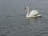 Swan 3379 poster